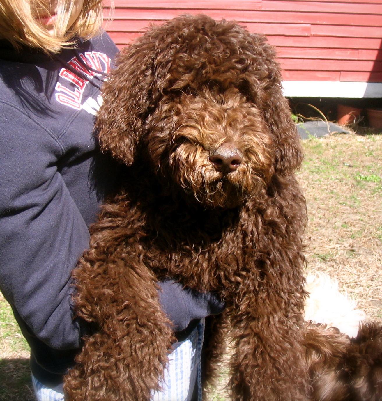 Big Brown Dog Multigeneration Australian Labradoodles ...