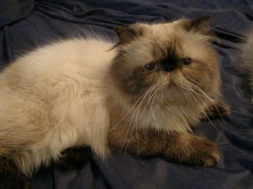 Himalayan cat for sale in sc