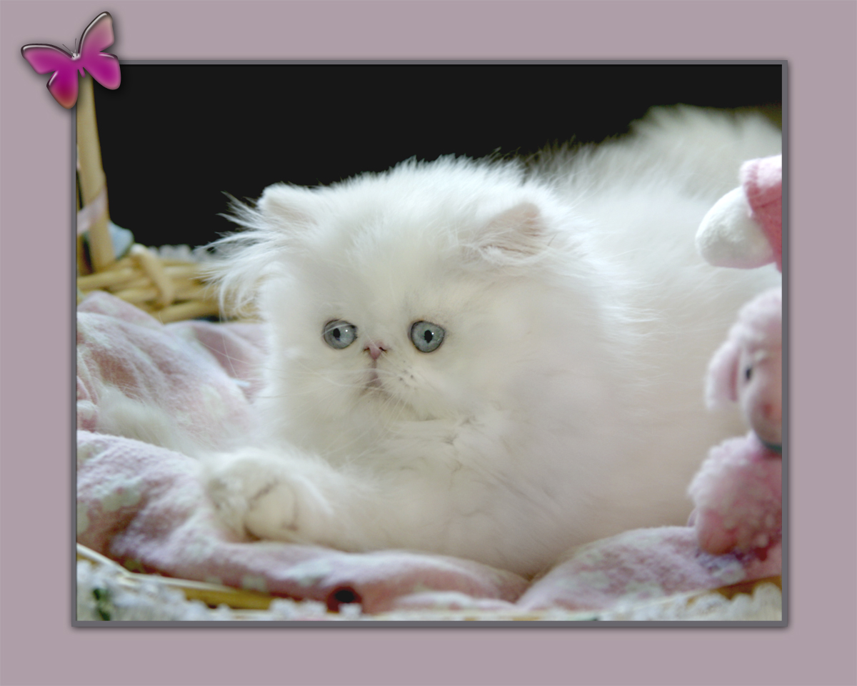 Persian kittens Blue Eyed White Persian Cats For Sale Himalayan