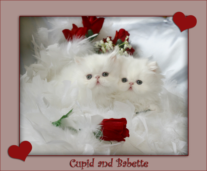 Persian Cats For Sale Washington State