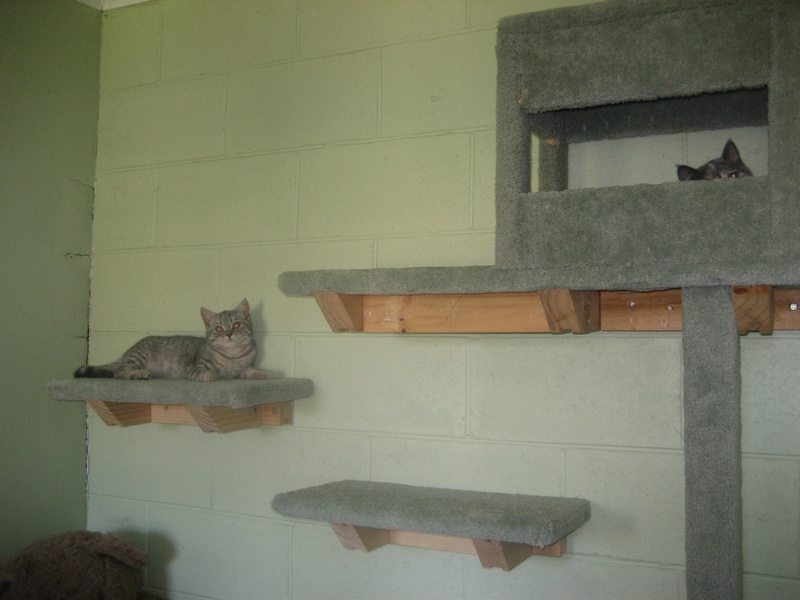 the new wall of cat steps with gemma in the house silver on a step kooweekatz breeders of. Black Bedroom Furniture Sets. Home Design Ideas