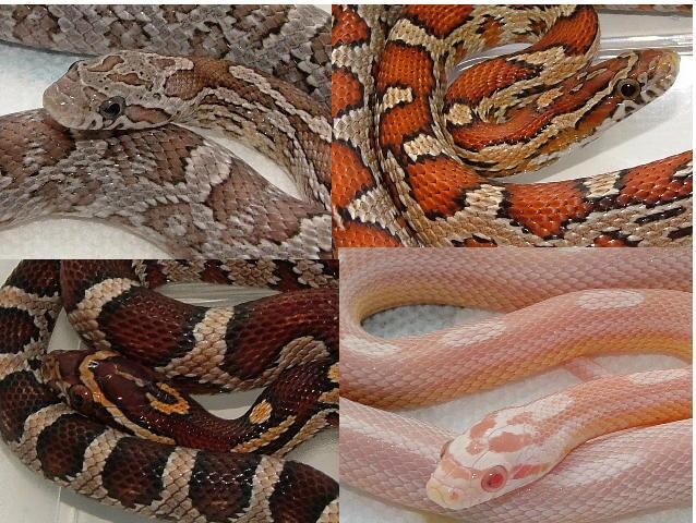 Images of Corn Snakes Corn Snake