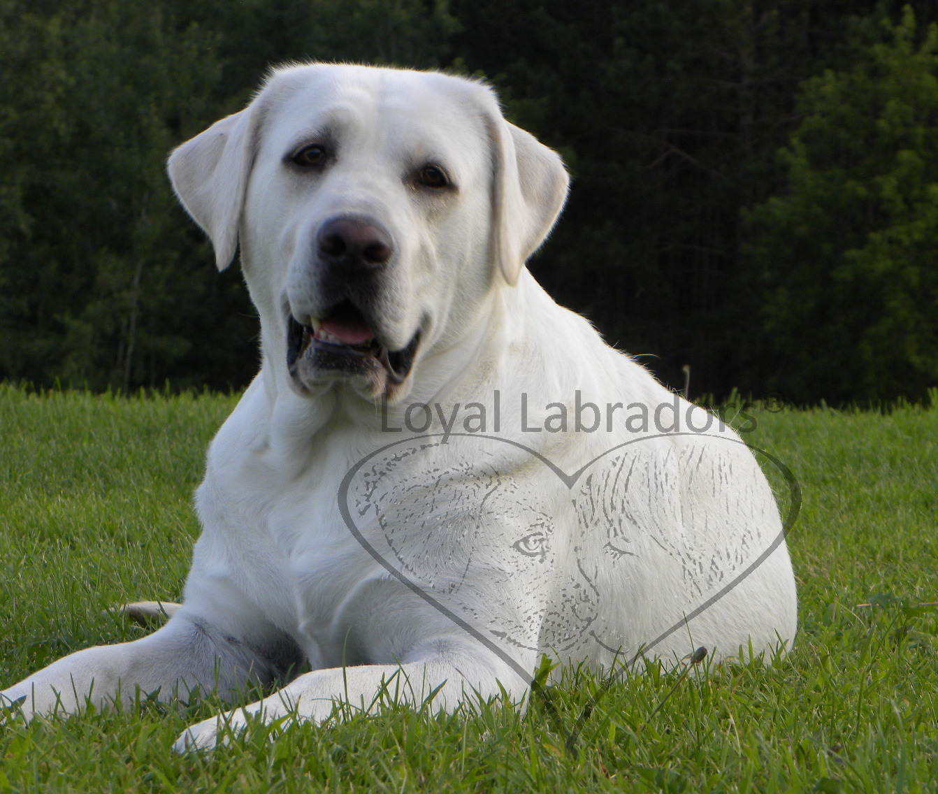 labrador.puppies.for.sale.in.Minnesota.buy.white.lab.labs.puppy ...