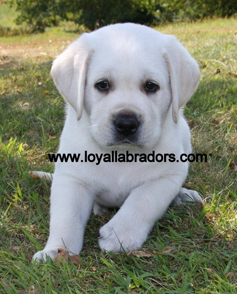 Labrador Puppies For Sale: Labrador Puppies For Sale Minnesota