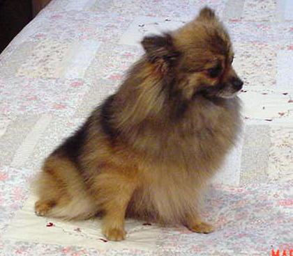 Pomeranians by Paris