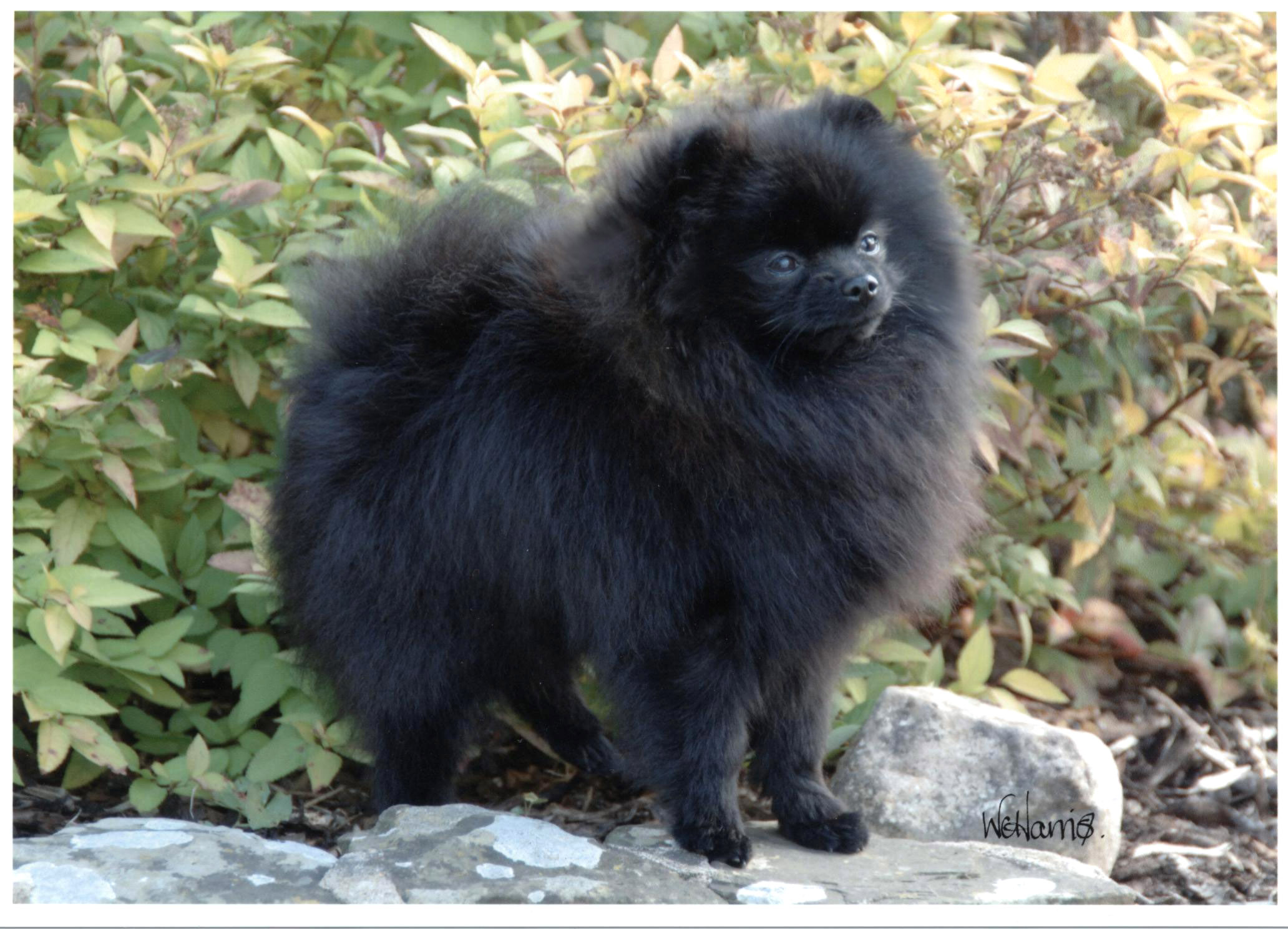 Black And Brown Pomeranian Puppies