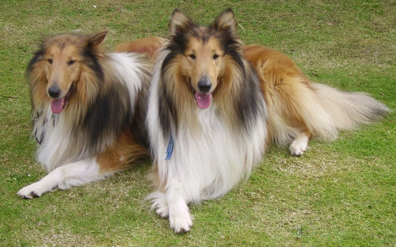 Ceansa and dathuil rough collie rescue midlands