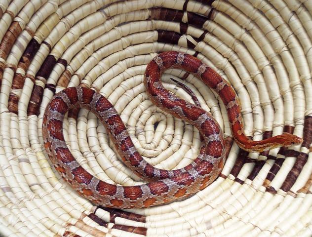 South Eastern Corn Snake