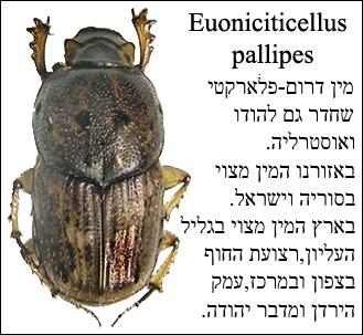 caccobius histeroides