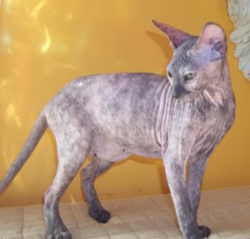 Hairless Peterbald Sphynx - PICTURE GALLERY