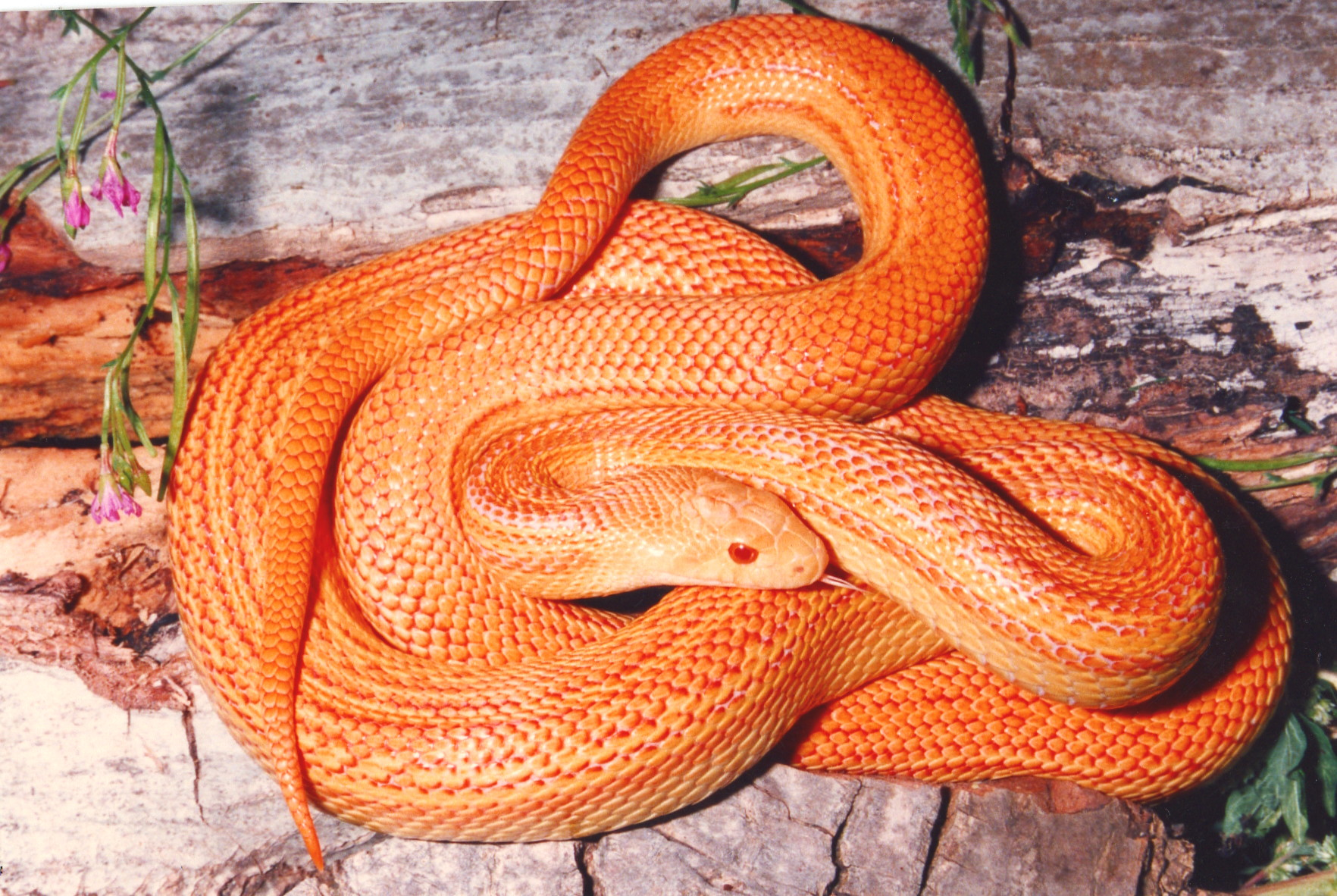 Pituophis catenifer intergrade (Albino Wiley Stock ...