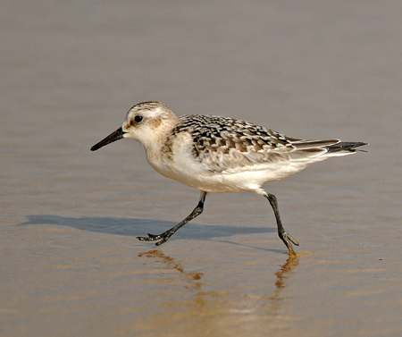 curlew black singles July 2017 potteric carr bird dunlin (singles, plus 2 on 6th and 4 on 31st) curlew black-tailed godwit 10th bar-tailed godwit turnstone knot ruff.