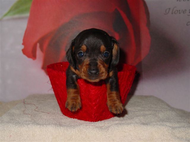 Blue/Tan Dachshund Puppy. Sometimes blue puppies almost look like a dull