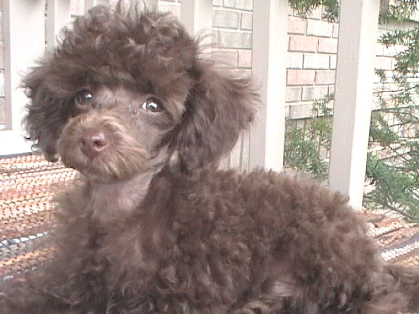 Platinum tea cup poodles for sale dog breeds picture - This Is Willie With His Moustache