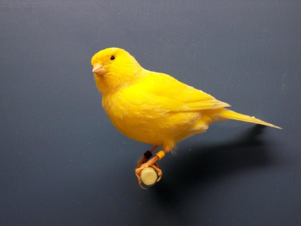 Canary bird colors - photo#20